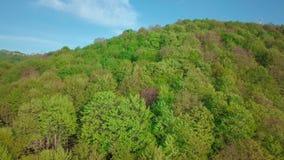 tiro do zangão 4k Mover-se para a frente para a floresta das madeiras de pinho e o vale da montanha no dia de verão Natureza verd filme