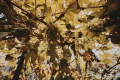 Tiro granangular de manojos de uvas Fotografía de archivo libre de regalías