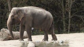 Tiro granangular de un elefante animal en captivita que da une vuelta en un parque zoológico metrajes