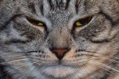 Tiro gris enojado del primer del gato fotos de archivo libres de regalías