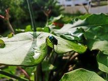 Tiro hermoso de la macro del escarabajo Fotos de archivo