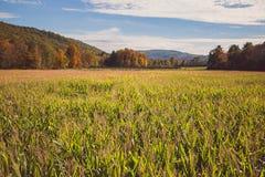 Tiro hermoso de un campo de maíz grande durante la primavera fotos de archivo