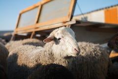 Tiro horizontal dos carneiros brancos que olham a câmera Foto de Stock