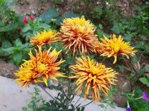 Tiro impresionante de la flor amarilla 5 pedazos de flor alrededor imagenes de archivo