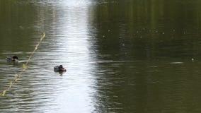 Tiro inclinable de la natación del pato en el lago almacen de video