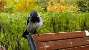 Tiro inclinable del primer de un cuervo negro almacen de video