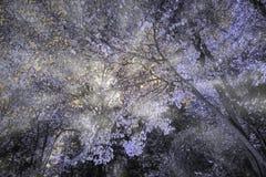 Tiro infravermelho da floresta com os raios claros que brilham o lance ele Fotografia de Stock Royalty Free