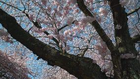 Tiro 4K da zorra de Cherry Blossoms da mola UHD filme
