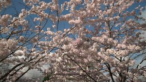 Tiro 4K UHD da zorra das flores de cerejeira do céu azul vídeos de arquivo