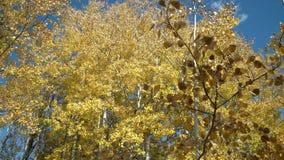 Tiro 4K UHD del carro de Autumn Aspen Trees Nicola Valley almacen de video