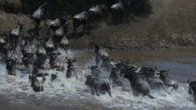 Tiro largo de la exposición del ñu que cruza a Mara River almacen de video