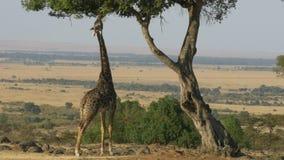 Tiro largo do ângulo de um girafa que alcança acima para comer as folhas no Masai mara filme