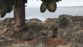 Tiro largo do ângulo de uma iguana da terra sob o cacto no isla Santa filme