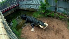 Tiro largo do cerco com a cubeta de mordedura do crocodilo video estoque