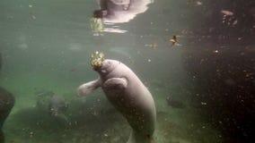 Tiro largo do peixe-boi que come o jacinto de água video estoque
