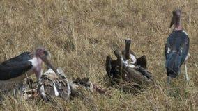 Tiro largo dos abutres que alimentam em uma zebra inoperante no Masai mara vídeos de arquivo