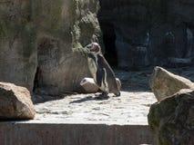 Tiro lateral de un solo pingüino que se coloca en parque zoológico en piedras foto de archivo