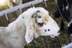 Tiro lateral del primer de las ovejas blancas en refugio Imagen de archivo