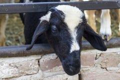Tiro lateral del primer de ovejas negras en refugio Fotos de archivo libres de regalías