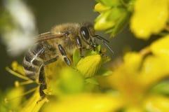 Tiro lateral macro de la abeja Fotografía de archivo