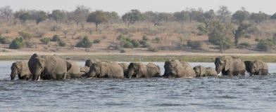 Tiro lateral panorámico de los elefantes que cruzan el río del choebe en Suráfrica Imagen de archivo