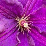 Tiro lilás violeta roxo do macro da flor da clematite imagem de stock royalty free