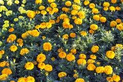 Tiro limpo dianteiro de flores alaranjadas e amarelas coloridas fotografia de stock