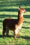 Tiro lleno de la alpaca de Brown Fotos de archivo