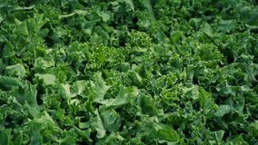 Tiro móvil de las verduras frescas de la col rizada metrajes