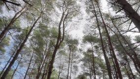 Tiro móvil dinámico del ángulo bajo que circula el top de árboles de pino muy altos, almacen de video