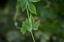 Tiro macro asombroso de hojas verdes hermosas Imagen de archivo