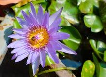 Tiro macro da abelha em lótus imagens de stock
