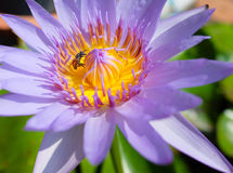 Tiro macro da abelha em lótus foto de stock
