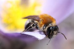 Tiro macro da abelha na flor da mola fotografia de stock