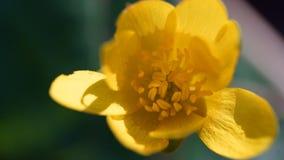 Tiro macro da anêmona amarela Imagem de Stock Royalty Free