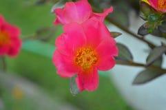 Tiro macro da flor Foto de Stock Royalty Free