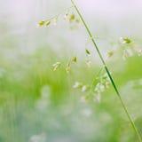 Tiro macro da grama com sementes Fotos de Stock