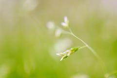 Tiro macro da grama com sementes Imagens de Stock
