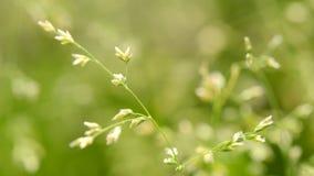 Tiro macro da grama com sementes video estoque