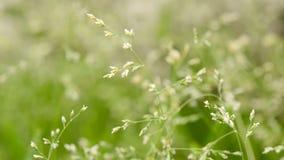 Tiro macro da grama com sementes vídeos de arquivo