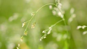 Tiro macro da grama com sementes filme