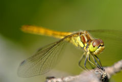 Tiro macro da libélula no tempo de verão Imagens de Stock Royalty Free