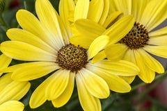 Tiro macro da margarida amarela Imagem de Stock Royalty Free