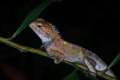 Tiro macro da noite de um lagarto em um ramo de árvore Fotos de Stock Royalty Free