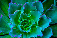 Tiro macro da planta carnuda Imagem de Stock Royalty Free