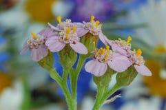 Tiro macro das flores Fotografia de Stock