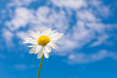 Tiro macro de camomiles salvajes en un fondo del cielo azul Fotografía de archivo libre de regalías