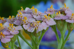 Tiro macro de flores Fotografía de archivo libre de regalías