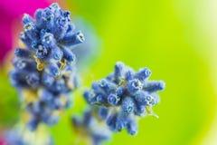 Tiro macro de flores azules Imagen de archivo