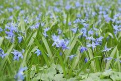 Tiro macro de flores p?rpuras min?sculas fotos de archivo libres de regalías